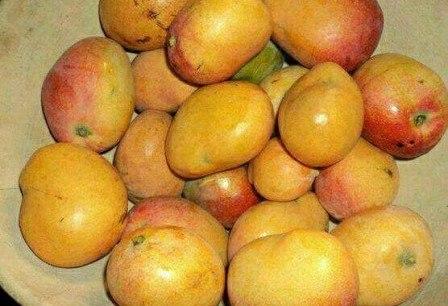 Lettre d'un manguier aux Guinéens : consommez nos fruits